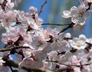 abrikos-tsvetet.jpg